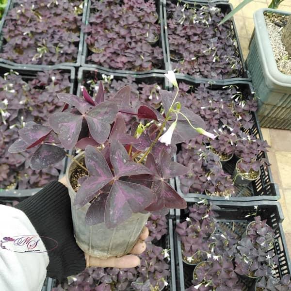 گل اگزالیس