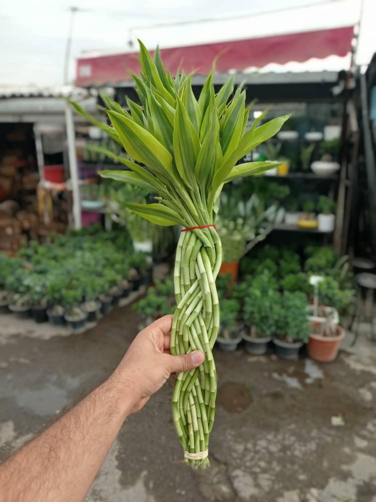 خرید آنلاین لاکی بامبو - فروش ویژه لاکی بامبو تایلندی