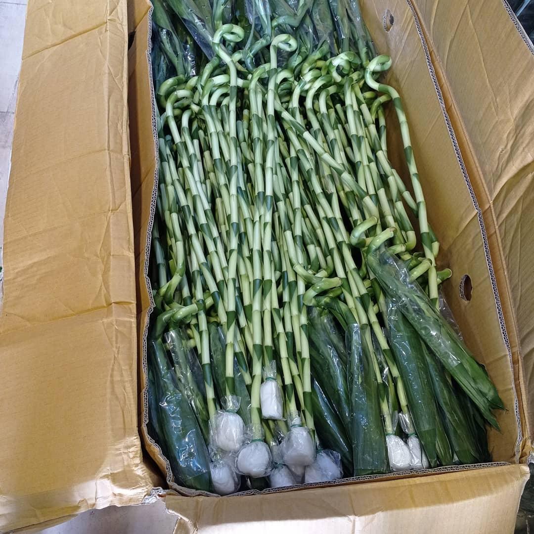 خرید لاکی بامبو