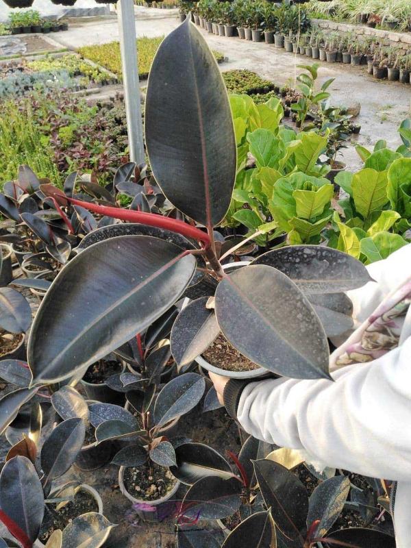 معرفی گیاه فیکوس بلک