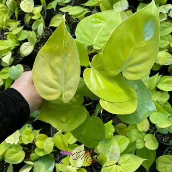 گیاه پتوس نئون