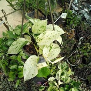 گیاه پتوس مرمری