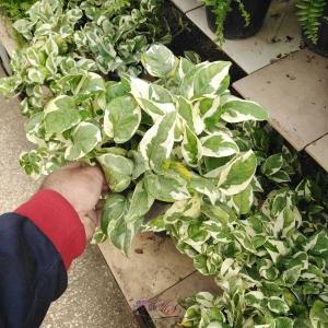 گیاه پتوس ارتشی