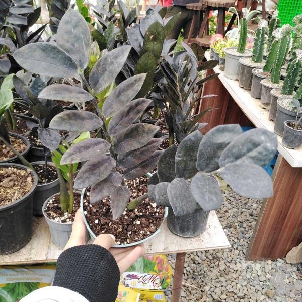 چگونه از گیاه زاموفیلیا بلک نگهداری کنیم