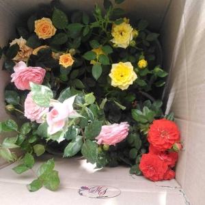 گل رز و راهنمای کاشت