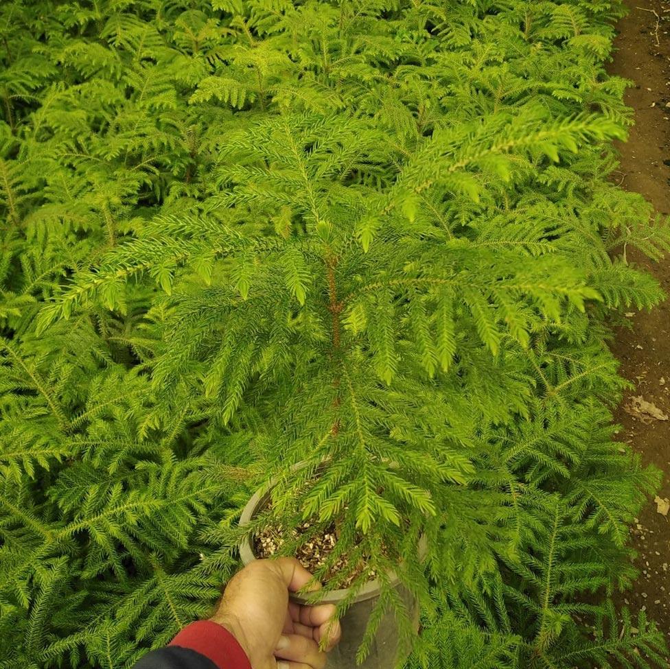 نقش خاک مناسب در رشد کاج مطبق